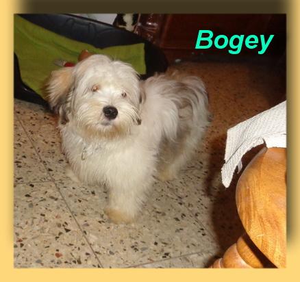 Bogey, Mix-Welpe- vorgestellt von Collies und Shelties in Not