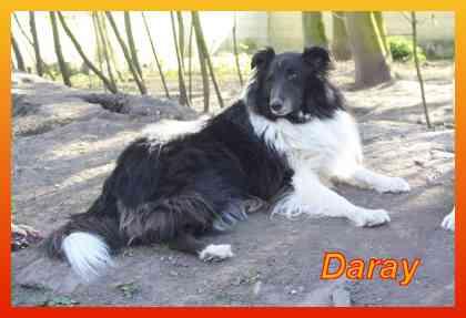 Daray,Collie-R�de- vorgestellt von Collies und Shelties in Not