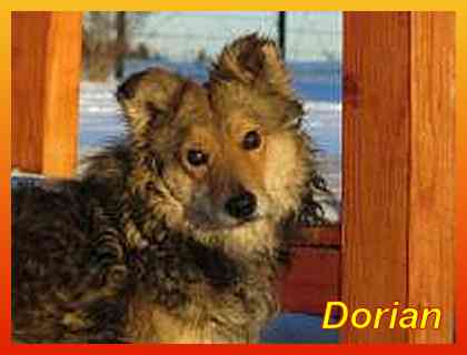 Dorian, Collie-Mix-Rüde- vorgestellt von Collies und Shelties in Not