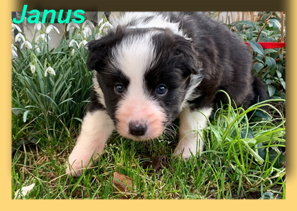 Janus, Border-Baby- vorgestellt von Collies und Shelties in Not