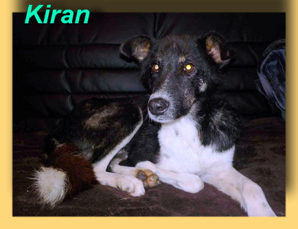 Kiran, Border-Collie-Mix-Rüde- vorgestellt von Collies und Shelties in Not