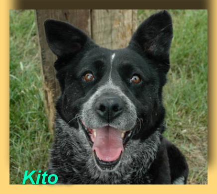 Kito, Border-Collie-Mix-Rüde- vorgestellt von Collies und Shelties in Not