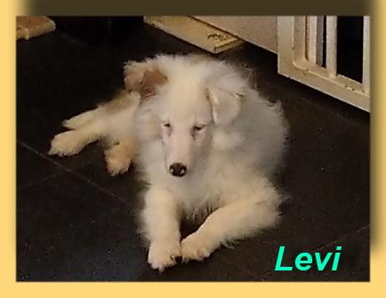 Levi, Sheltie-Welpe- vorgestellt von Collies und Shelties in Not