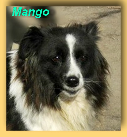 Mango, Sheltie-Mix-Rüde- vorgestellt von Collies und Shelties in Not