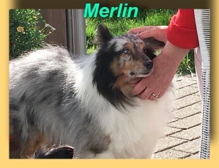 Merlin, Sheltie-Rüde- vorgestellt von Collies und Shelties in Not