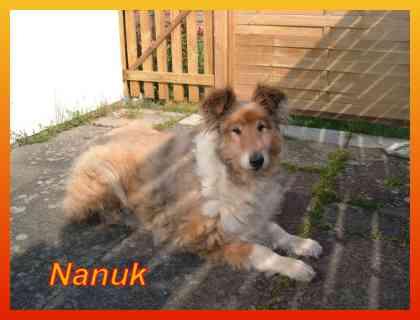 Nanuk,Collie-R�de- vorgestellt von Collies und Shelties in Not
