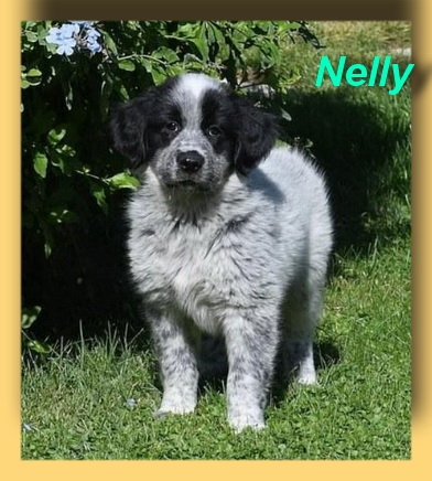 Nelly, Collie-Mix-Welpe- vorgestellt von Collies und Shelties in Not