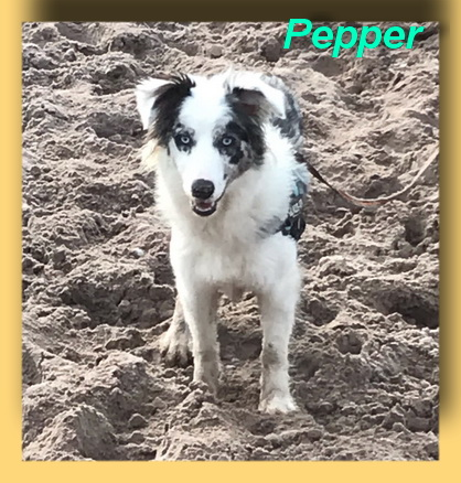 Pepper, Border-Collie-Hündin- vorgestellt von Collies und Shelties in Not