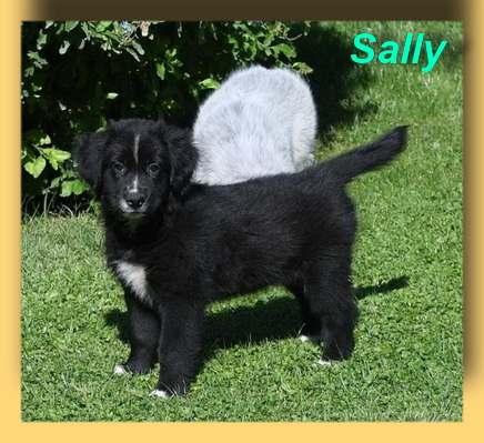Sally, Collie-Mix-Welpe- vorgestellt von Collies und Shelties in Not