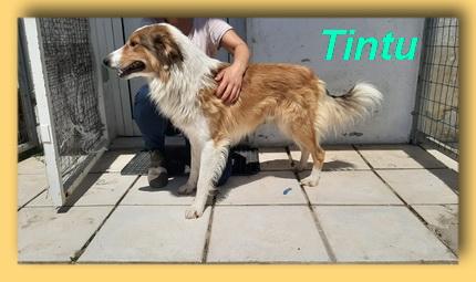 Tintu, Collie-Rüde- vorgestellt von Collies und Shelties in Not