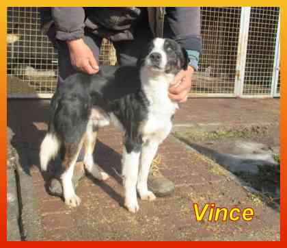 Vince, Bordercollie-Mix-Rüde- vorgestellt von Collies und Shelties in Not