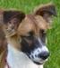 Lassie,Collie-Mix-Hündin