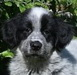 Nelly, Collie-Mix-Welpe